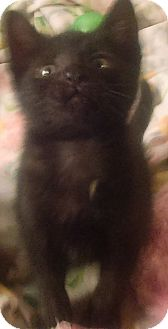 Domestic Shorthair Kitten for adoption in Bayside, New York - Barnabas