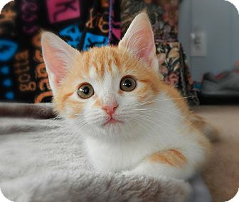 Domestic Shorthair Kitten for adoption in Austintown, Ohio - Elaina