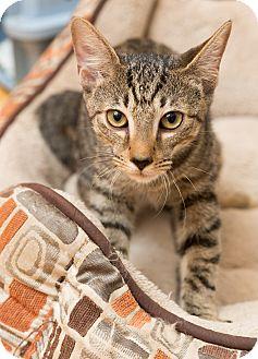 Domestic Shorthair Cat for adoption in Brooklyn, New York - Pikachu