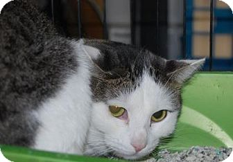 Domestic Shorthair Cat for adoption in Brooklyn, New York - Kimba