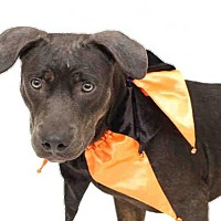 Pit Bull Terrier Mix Dog for adoption in Orlando, Florida - BLUE
