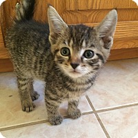 Domestic Shorthair Kitten for adoption in Plainville, Connecticut - Nutmeg