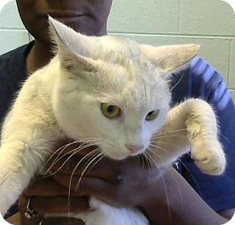 Domestic Shorthair Cat for adoption in Decatur, Georgia - Spicer (adopted)