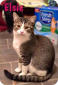 Domestic Shorthair Cat for adoption in York, Pennsylvania - Elsie