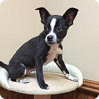 Boston Terrier Mix Puppy for adoption in Courtland, Alabama - Bay
