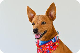 Chihuahua Mix Dog for adoption in Nanaimo, British Columbia - Mango