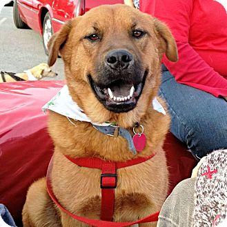 German Shepherd Dog/Chow Chow Mix Dog for adoption in Sidney, Maine - Zeus