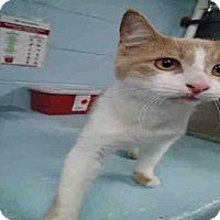 Adopt A Pet :: CHESNUT - Tallahassee, FL