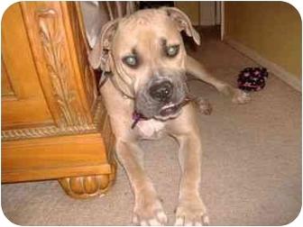 Bullmastiff Puppy for adoption in Oviedo, Florida - Dudley