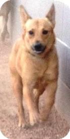 Australian Kelpie Mix Puppy for adoption in Gilbert, Arizona - Dixie