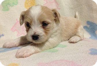 Maltese Mix Puppy for adoption in Bridgeton, Missouri - Pub