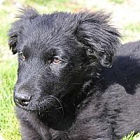Adopt A Pet :: *Dax - PENDING - Westport, CT