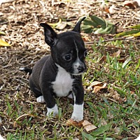 Adopt A Pet :: Noelle - La Habra Heights, CA