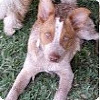 Adopt A Pet :: Duke - San Dimas, CA