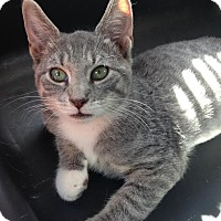Adopt A Pet :: Miss Grayson - East Brunswick, NJ
