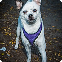Adopt A Pet :: Nicky - New York, NY