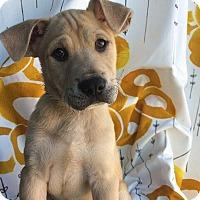 Adopt A Pet :: Surge - Austin, TX