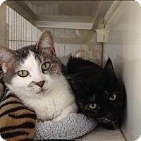 Adopt A Pet :: Shere Khan - Duluth, MN