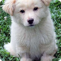 Adopt A Pet :: Ivory in PA - new pup! - Beacon, NY