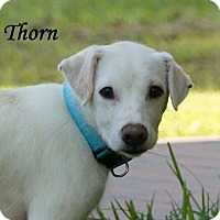 Adopt A Pet :: Thorn Adoption pending - Manchester, CT