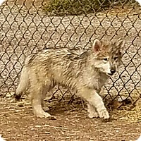 Adopt A Pet :: Deuce - Surprise, AZ