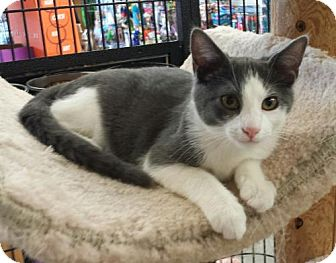 Domestic Shorthair Kitten for adoption in Knoxville, Tennessee - Pretzel