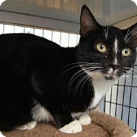 Adopt A Pet :: Abra - New Milford, CT