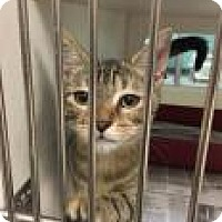 Domestic Shorthair Cat for adoption in Columbus, Georgia - Annie Wilkes 7127