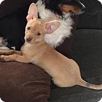 Adopt A Pet :: PUPPY - min pin/chi mix - Bainbridge Island, WA