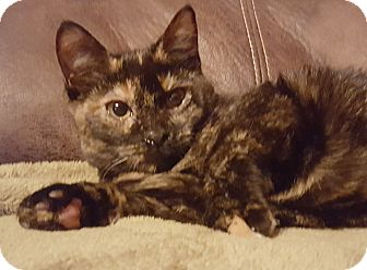 Domestic Shorthair Kitten for adoption in Rockford, Illinois - Patches