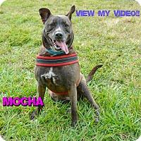 Adopt A Pet :: Mocha - Sarasota, FL