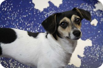 Beagle/Rat Terrier Mix Dog for adoption in Rockwall, Texas - Penny