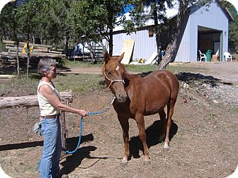Quarterhorse Mix for adoption in Bayfield, Colorado - Greta Garbo