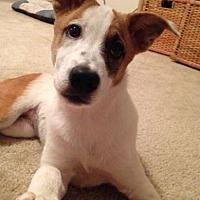 Adopt A Pet :: Adorable Ava - San Antonio, TX