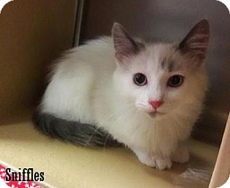 Siamese Kitten for adoption in Fullerton, California - Sniffles