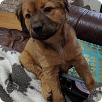 Adopt A Pet :: Noelle - Olympia, WA