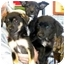 Photo 1 - Border Collie/Poodle (Miniature) Mix Dog for adoption in Humble, Texas - Brenda Litter