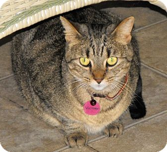 Domestic Shorthair Cat for adoption in Grand Rapids, Michigan - Victory