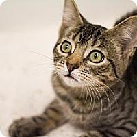Adopt A Pet :: Kibbles - Sacramento, CA