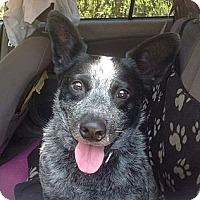 Adopt A Pet :: Chaka - Santa Barbara, CA
