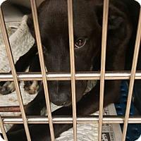 Adopt A Pet :: Carrie - Whitestone, NY
