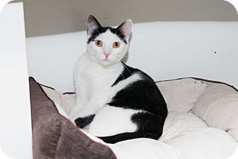 Domestic Shorthair Cat for adoption in Chicago, Illinois - Betty