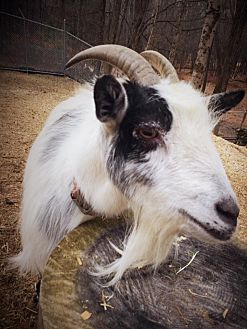 Goat for adoption in Huguenot, New York - Penelope