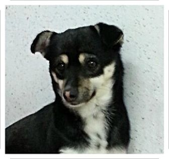 Jack Russell Terrier/Rat Terrier Mix Dog for adoption in Fairfax, Virginia - Peanut
