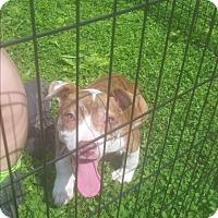 Adopt A Pet :: Ashley - Channahon, IL