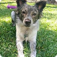 Adopt A Pet :: Peter - Los Angeles, CA
