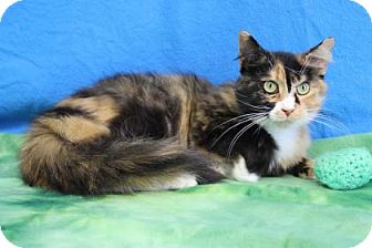 Calico Cat for adoption in South Bend, Indiana - Turtle