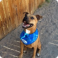 American Pit Bull Terrier Mix Dog for adoption in Gilbert, Arizona - Muffin