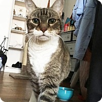 American Shorthair Cat for adoption in NYC, New York - SWEET CHARLOTTE