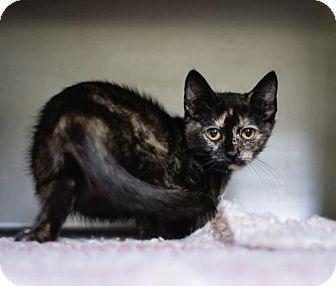 Domestic Shorthair Cat for adoption in Lovingston, Virginia - Raisin